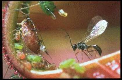 アブラムシの天敵のハチ