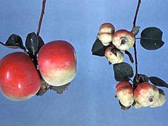 アブラムシにやられたリンゴの実(右)