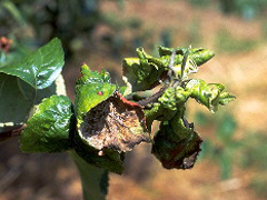 アブラムシで侵されたリンゴの葉