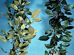 ハダニに侵されたリンゴの葉(左側)